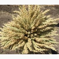 Семена озимой мягкой пшеницы сорт Алексеич ЭС/РС1/РС2