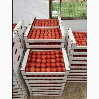 Продам томаты высокого качества