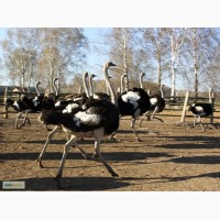 Племенные страусы, птенцы страуса, яйцо инкубационное страусиное