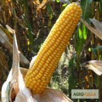 Семена кукурузы Майсадур(Maisadour Semences), Франция