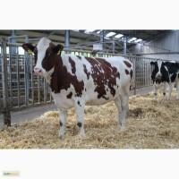 Племенной скот Красная Голштинская порода молочного направления (экспортные нетели)