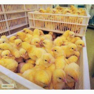 Суточные цыплята, бройлеры
