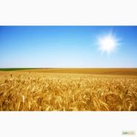 Продам: Семена пшеницы Радуга, РС1, ЭС