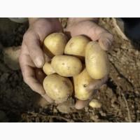 Свежий картофель урожай 2017 г