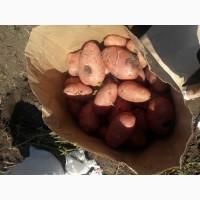 Картофель от производителя прордовольственный оптом 2018