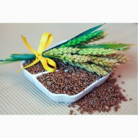 Семена яровой пшеницы Прохоровка