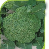 Продам семена капусты брокколи Монако F1 (2500 сем/пак)