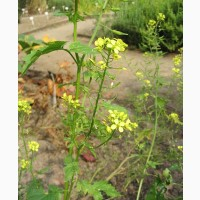 Продам семена Горчицы Белой сорт Белоснежка (ЭС, РСТ)