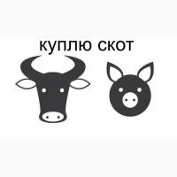 КРС КУПЛЮ на мясо, скот живым весом
