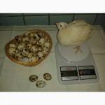 Техасский перепел.инкубационное яйцо