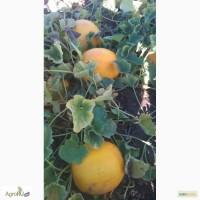 Продам семена дыни Идиллия