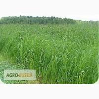Продам семена многолетних трав Овсяцица