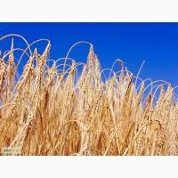 Продам Семена ячменя Заозерский 85, РС1, ЭС