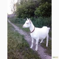 Зааненские чистопородные козы