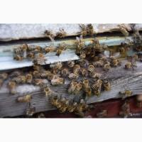 Пчелосемьи, пчелы