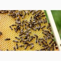 Пчелосемьи и пчелопакеты карпатской породы от производителя