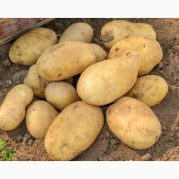 Картофель свежий урожай от производителя 5