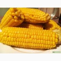 Гибриды семена кукурузы Сингента