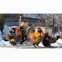Павловские золотистые инкуб яйцо цыплята