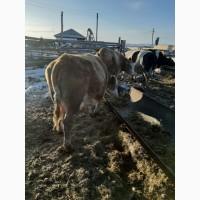 Продаём коров и быков на убой