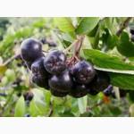 Рябина черноплодная плоды