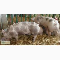 Домбрэ новая порода свиней