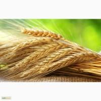 Продам: Семена пшеницы Тризо, РС1, ЭС