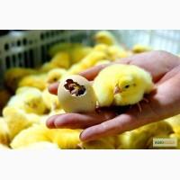 ГУП РК УОППЗ им. Фрунзе реализует инкубационное яйцо кросса Хайсекс Коричневый и Белый