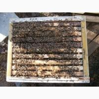 Серые горные кавказские пчёлы (кавказянки) пчелопакеты и пчелосемьи (уже в С-Петербурге)