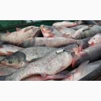 Рыба оптом:сазан, вобла, лещ, судак, амур, толстолобик