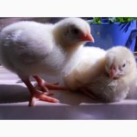 Продам цыплят бройлеров КОББ-50