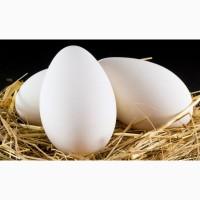 Инкубационные яйца пекинской утки Star-53