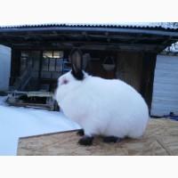 Продаю кроликов Калифорнийской породы