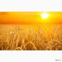 Продам: Семена пшеницы Злата, РС1, ЭС