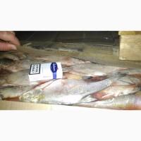 Продам замороженную рыбу из Астрахани