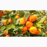 От производителей мандарина из Турции