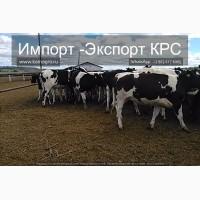 Продажа коров дойных, нетелей молочных пород в Турцию