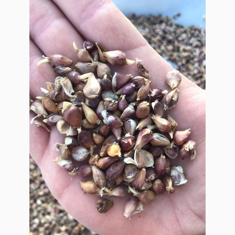 семена чеснока купить в минске