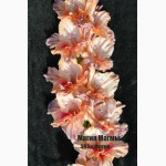 Продам гладиолусы отечественные роскошные селекционные сорта