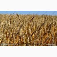 Продам: Семена пшеницы Дарья, РС1, ЭС