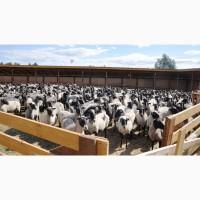 Продажа племенных овец романовской породы