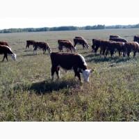 Закупаем бычков мясных пород