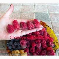 Саженцы малины крупноплодной, сорт Краса России