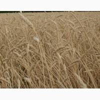 Семена пшеницы яровой Ирень (ЭС, РС-1)