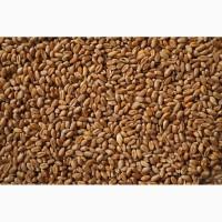 Пшеница 4 класс объём 4000 тонн (Башкирия)
