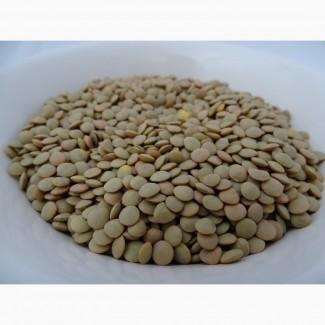 Семена чечевицы (сорт Веховская)