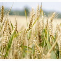 Семена озимой пшеницы Степь, Сварог