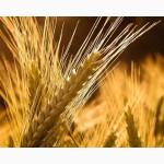 Пшеница озимая Московская 56, элита