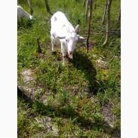 Продам Коз и козлят