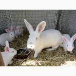 Кролики мясной породы Белый Паннон